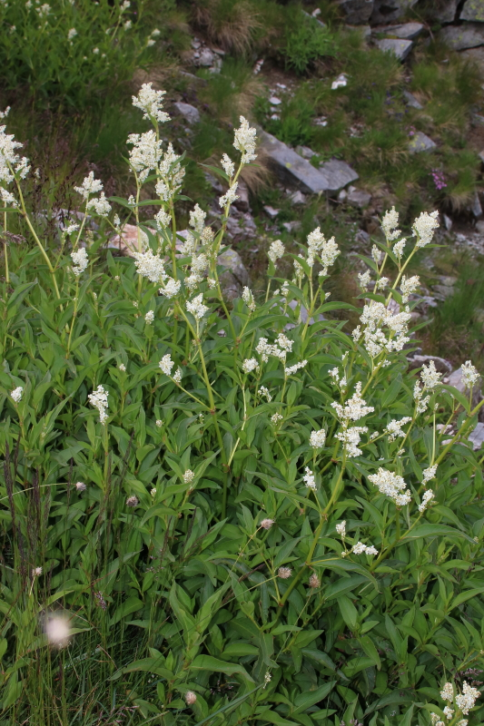 Polygonum alpinum All. (Polygonaceae)